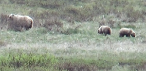 Bears in Denali