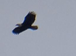 Eagle Still